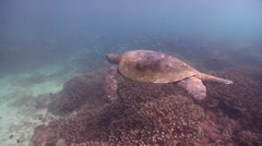 Male adult Green turtle swimming on shallow coral reef, Chelonia mydas, HD, Stock Footage