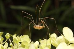 Daddy-Long-Legs spider - stock photo