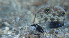 Twinspot goby feeding on sand, Signigobius biocellatus, HD, UP26761 Stock Footage