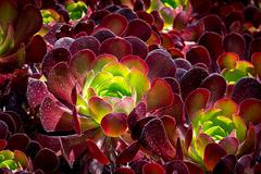Stock Photo of Burgandy Colored Succulent