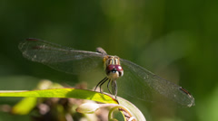 Blue Dasher (Pachydiplax longipennis) dragonfly Stock Footage