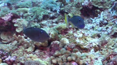 Stock Video Footage of Gilded triggerfish swimming on deep coral reef, Xanthichthys auromarginatus, HD,