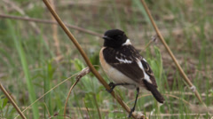 Male stonechat sitting on a branch Stock Footage