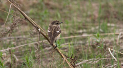 Female stonechat sitting on a branch Stock Footage