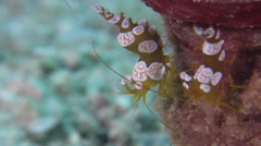 Thor shrimp walking, Thor amboinensis, HD, UP27794 - stock footage