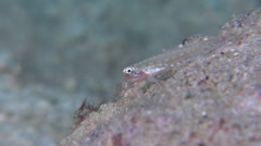 Unidentified back spot dwarfgoby territorial on silty inshore reef, Eviota sp. - stock footage