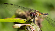 Stock Video Footage of Blue Dasher (Pachydiplax longipennis) dragonfly