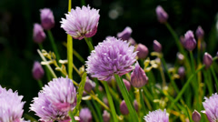 Close up chives in flower Stock Footage