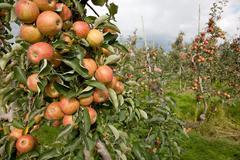 apple tree full of apples - stock photo