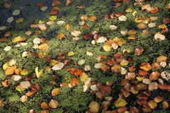 Beech leaves and lesser duckweed Stock Photos
