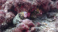 Starry moray looking around on muck, Echidna nebulosa, HD, UP28023 Stock Footage