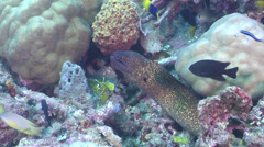 Yellow edged moray looking around on silty inshore reef, Gymnothorax Stock Footage