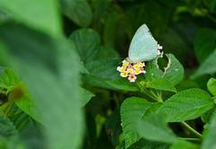 Butterfly, Common Emigrant, Catopsilia piomona, sucking honey fl - stock photo