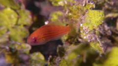 Juvenile Filamented flasher-wrasse swimming, Paracheilinus filamentosus, HD, Stock Footage
