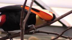 Toucan bird rubs on tree branch Stock Footage