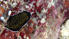 Gold-speckled black flatworm swimming, Thysanozoon nigropapillosum, HD, UP28321 Stock Footage