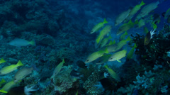 Blackspot snapper swimming and schooling on deep coral reef, Lutjanus Stock Footage