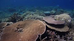 Ocean scenery healthy reef, surge and lots of fish and plate, staghorn and table Stock Footage