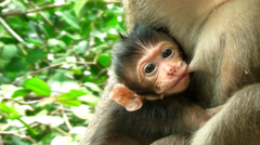 baby monkey suckling - stock footage