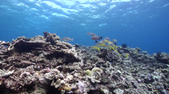 Ocean scenery mixed school, storm damaged coral, on shallow coral reef, HD, Stock Footage