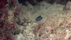 Coral Sea fangblenny swimming in cavern, Meiacanthus reticulatus, HD, UP28781 Stock Footage