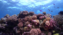Ocean scenery damsels and anthias over reef, on shallow coral reef, HD, UP28792 Stock Footage