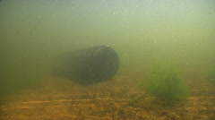 Mary River Cod in Man-made pond, Maccullochella mariensis, HD, UP28993 Stock Footage