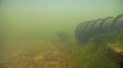 Mary River Cod swaying in Man-made pond, Maccullochella mariensis, HD, UP29002 Stock Footage