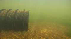 Mary River Cod hiding in Man-made pond, Maccullochella mariensis, HD, UP29005 Stock Footage