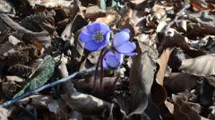 Flower,   Hepatica trifolia , hepatica nobilis,  Anemone hepatica, Stock Footage
