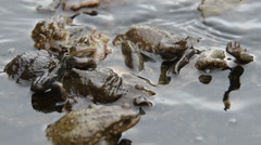 SEVERAL MALES OF TOAD TRY TO MATE WITH A  FEMALE ON THE SURFACE OF A POND Stock Footage