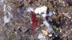 Striped reef shrimp walking in cavern, Cinetorhynchus striatus, HD, UP29156 Stock Footage
