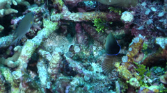 Juvenile Mimic surgeonfish fleeing on deep coral reef, Acanthurus pyroferus, HD, Stock Footage