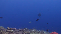 Humphead maori wrasse swimming on shallow coral reef, Cheilinus undulatus, HD, Stock Footage