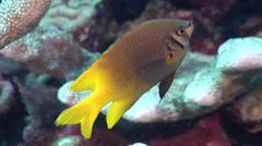 Yellowtail damsel swimming on shallow coral reef, Neoglyphidodon nigroris, HD, Stock Footage