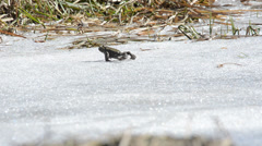 Toad (Bufo bufo)  is walking on snow Stock Footage