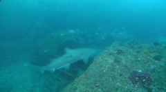 Grey nurse shark swimming on rocky reef, Carcharias taurus, HD, UP29663 Stock Footage