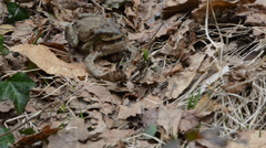 toad, male and female, coupling, santagostino lake, italy - stock footage
