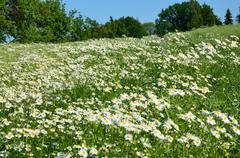 rmenec pulcherrima herb - stock photo