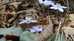 toad, male and female, coupling, santagostino lake, - stock footage