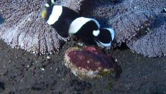 Adults and juveniles Panda clownfish tending eggs on black sand slope and muck, Stock Footage