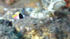 Juvenile Tarry hogfish swimming on black sand slope and muck, Bodianus Stock Footage