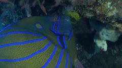 Blue-ringed angelfish feeding on wreckage, Pomacanthus annularis, HD, UP29851 Stock Footage