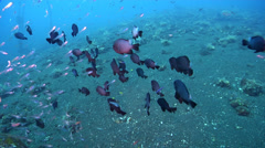 Threespot damsel hovering and schooling on black sand slope and muck, Dascyllus Stock Footage