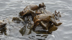 Bufo bufo,  toad, lago Sant'Agostino,  coupling, Stock Footage