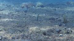 Taylors garden eel feeding on black sand slope and muck, Heteroconger taylori, Stock Footage