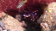 Blue-legged boxer shrimp on black sand slope and muck, Stenopus tenuirostris, Stock Footage