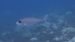 Barred unicornfish swimming on black sand slope and muck, Naso thynnoides, HD, Stock Footage