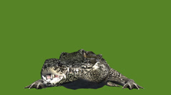Crocodile open mouth attack hunting,Dangerous animals. - stock footage