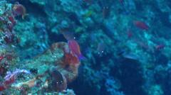 Randall's anthias swimming on deep wall, Pseudanthias randalli, HD, UP30403 Stock Footage
